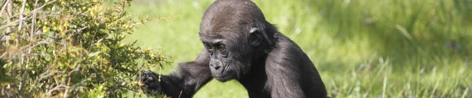 Infant Gorilla Foraging